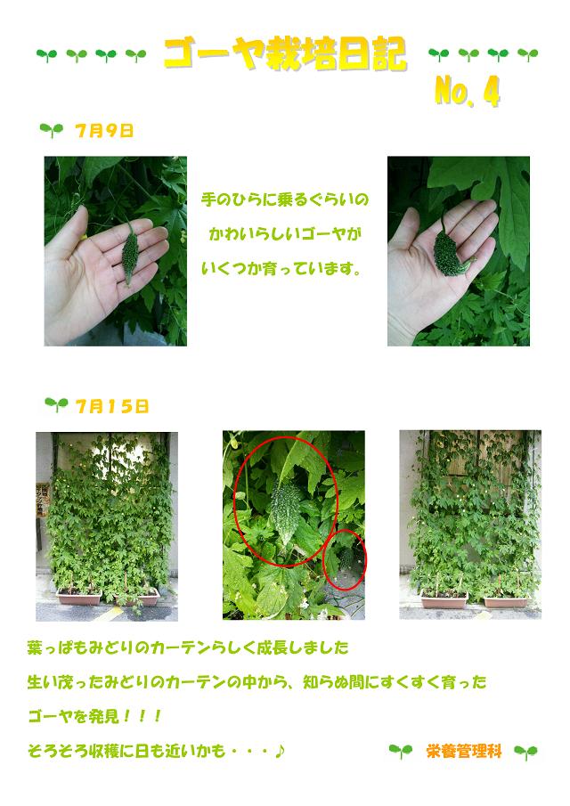 ゴーヤ栽培日記④