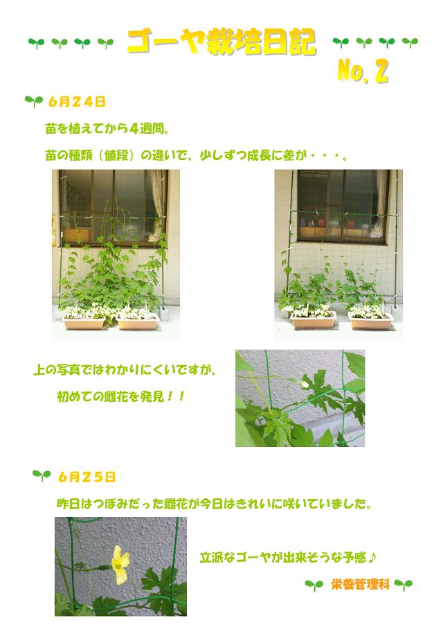 ゴーヤ栽培日記②